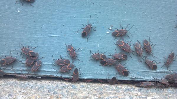 boxelder bugs 2013-04-15 13.48.28